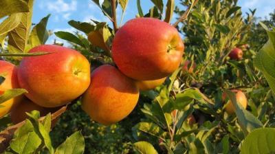 Federcooop   Incontro con produttori francesi e aggiornamento mercato mele Italia gennaio 2021