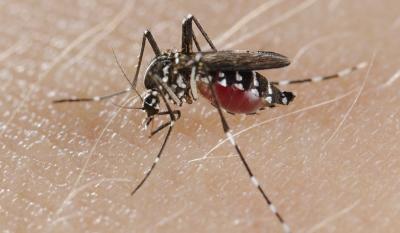 MUSE | La zanzara tigre non trasmette il Covid-19