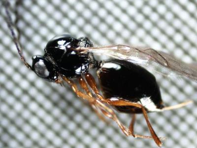 FEM: Drosophila suzukii, identificato in Trentino un parassitoide alieno che integrerà l'azione del Ganaspis nella lotta biologica
